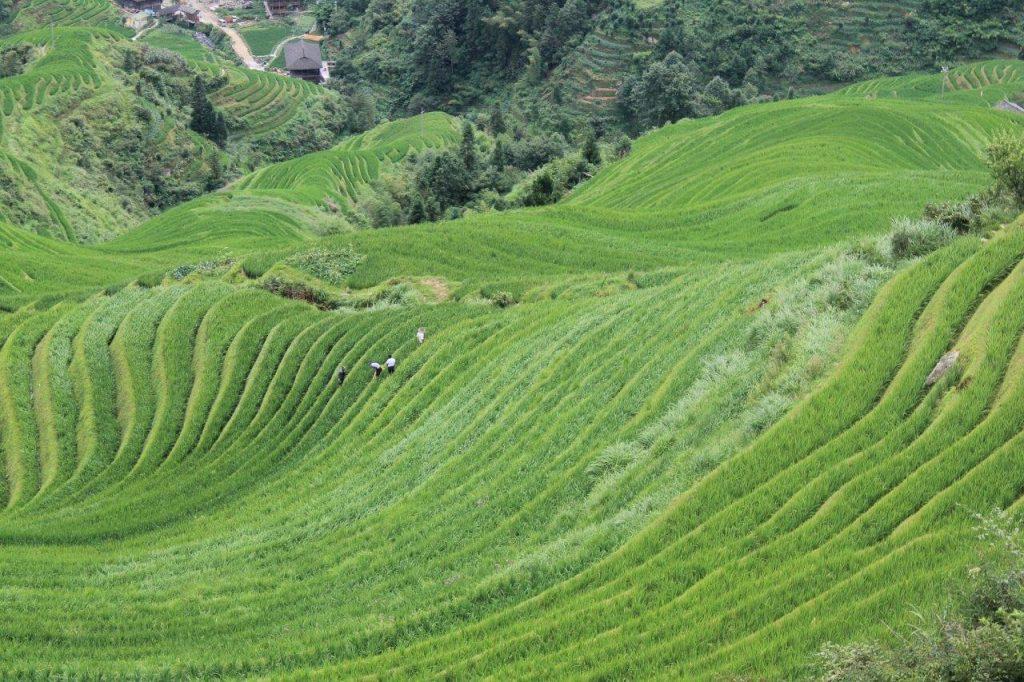 Rice fields in Guilin