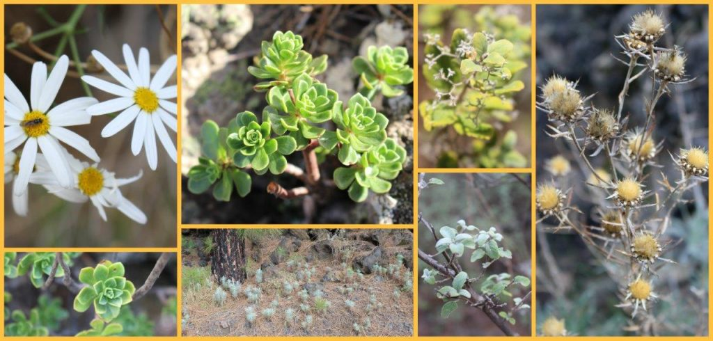 Although with the remaining lava covering the surroundings of the volcano Chinyero, the flora and vegetation during our hiking have given us beautiful shots